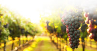 "<img src=""Purple Grapes"" alt=""A Bundle of Purple Grapes in Front of a Winery "" />"